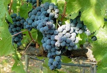 ワインは農作物?