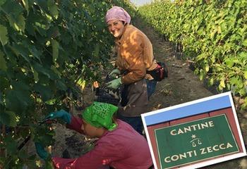 南イタリア ブドウ畑に魅せられて とびきりの笑顔に出会う コンティ・ゼッカ 収穫体験記編
