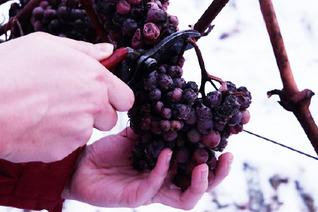 厳しい寒さが生み出すアイスワイン、おすすめ5選